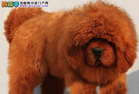 大毛量大骨量的温州藏獒找新主人 签订售后协议书