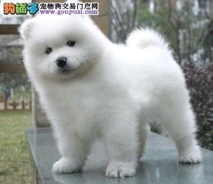 温州正规狗场低价出售雪白色萨摩耶 保证品质售后