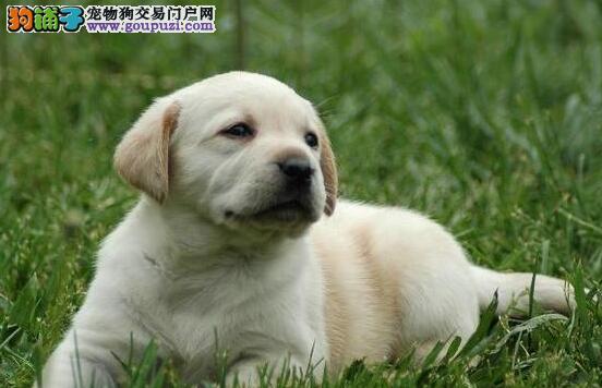出售高品质拉布拉多犬 深圳正规养殖基地专业繁殖直销