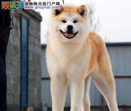 100%纯种健康的郑州秋田犬出售终身售后送货
