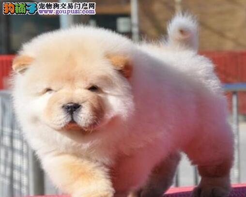 低价出售大嘴紫舌松狮犬 西安地区最高品质欢迎购买
