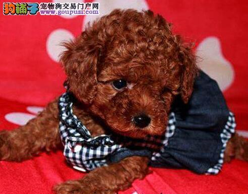 繁育基地出售茶杯体南京贵宾犬包养活保健康