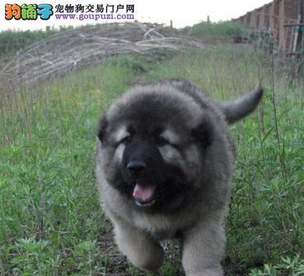 南宁大型培育中心出售高加索犬 可以享受多种优惠