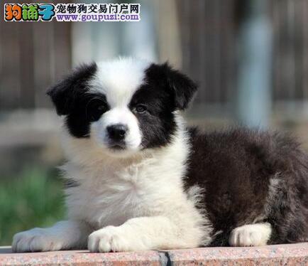 纯种深圳边境牧羊犬狗场热销 支持全国空运发货保品质