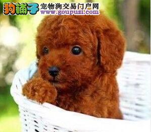 长治自家养殖纯种贵宾犬低价出售金牌店铺有保障