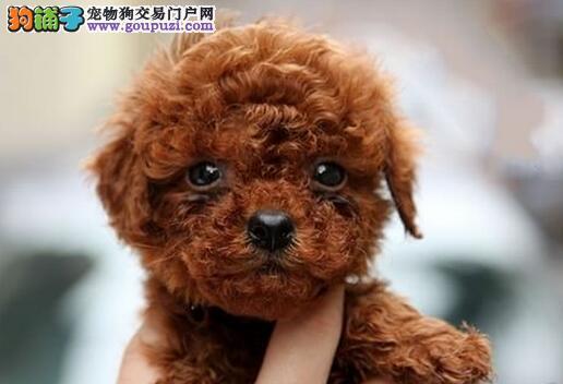 脸型完美的太原泰迪犬低价出售 购买无后顾之忧