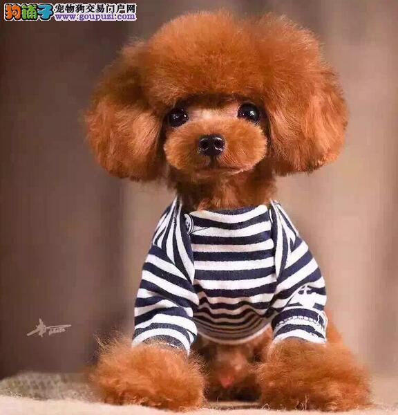 出售聪明伶俐的贵阳泰迪犬 无体味不掉毛 品相极佳