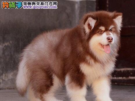 巨型熊版广州阿拉斯加犬找新家 品相极佳值得选购