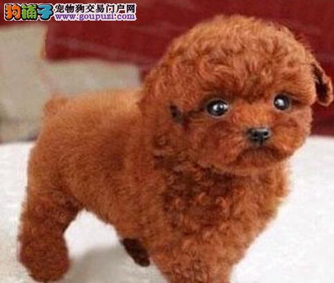 热销纯种韩国血统贵宾犬 西安市内可免费送狗上门