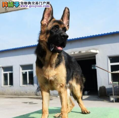 广州大型养殖基地出售身体健康的德国牧羊犬 非诚勿扰