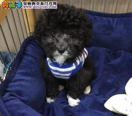 沈阳本地狗场出售韩系贵宾犬 有问题可随时联系我们