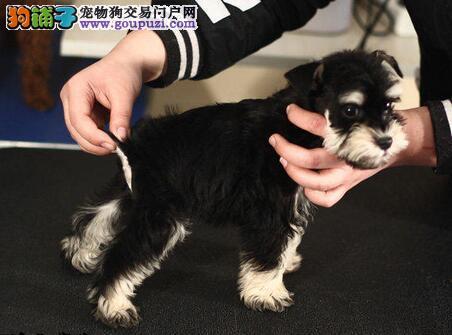 售多种颜色的南昌雪纳瑞幼犬 签署终身的质保合同