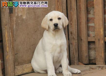 完美品相~签协议包终身 杭州极品拉布拉多犬颜色多选