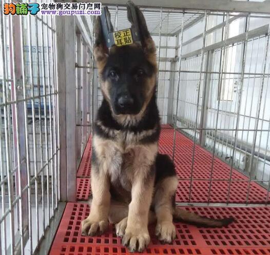 合肥大型狗场出售纯血统德国牧羊犬 可签署协议