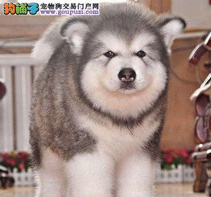 巨型阿拉斯加幼犬 赛级直系 诚信出售