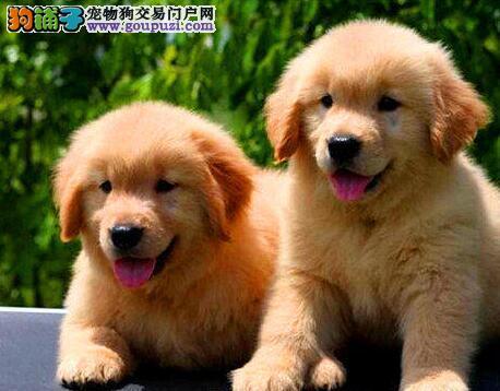 全场8折优惠出售合肥金毛犬 植入芯片带血统证书