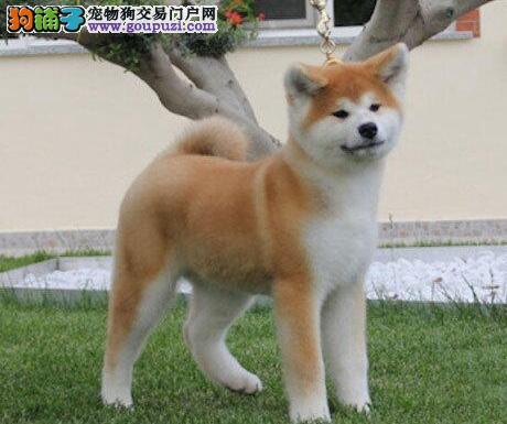 合肥专业繁殖基地售纯种日系秋田犬 冠军犬的后代