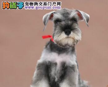 合肥正规基地出售雪纳瑞幼犬 欢迎实地挑选看狗