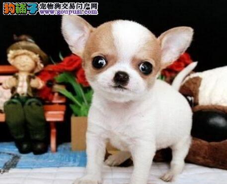 纯血统苹果脸合肥吉娃娃幼犬低价出售 价格合理