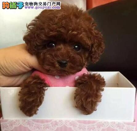 茶杯玩具超小体的厦门泰迪犬找爸爸妈妈 可随时上门选
