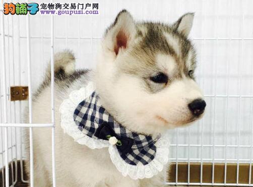 济南正规养殖场出售一窝自家繁殖的哈士奇 狗贩子勿扰