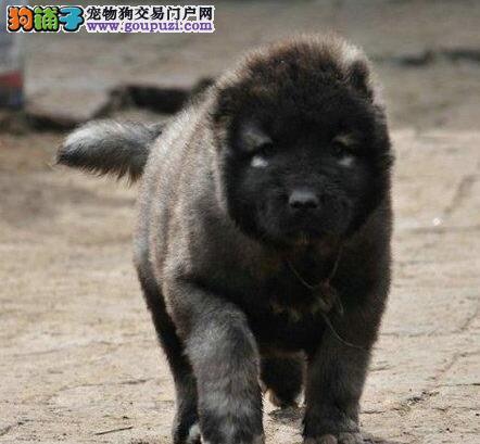 超低价出售健康的济南高加索犬 顶级护卫犬您值得拥有