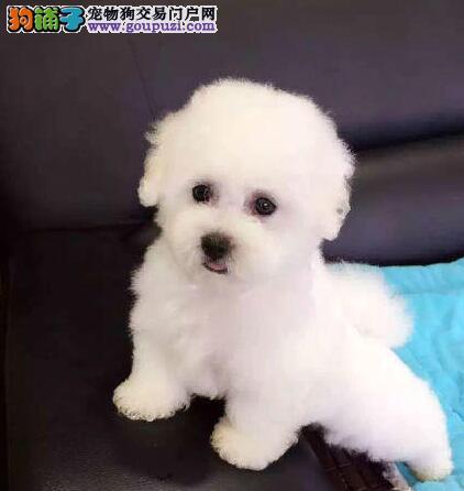 出售人见人爱的杭州比熊犬 雪白色卷毛 甜美脸型
