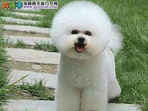 雪白卷毛品相的成都比熊犬找爸爸妈妈 狗贩子勿扰