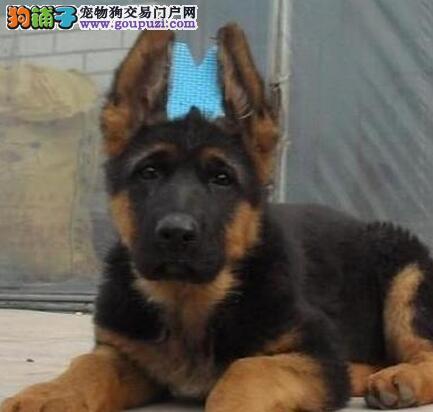 济南大型养殖基地直销血统纯正的德国牧羊犬