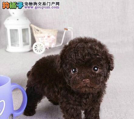 低价出售巨型血系的贵宾犬 朝阳市内可免费送货