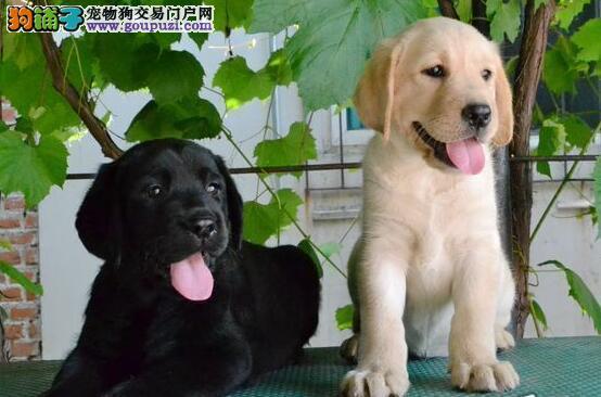 出售大骨架宽头版品质广州拉布拉多幼犬 半年包退换