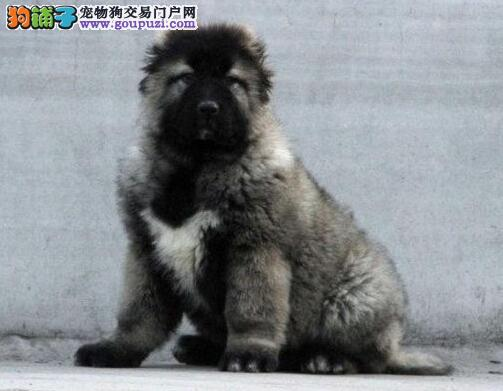 贵阳犬舍出售巨型高加索犬 高大威猛品相超级好