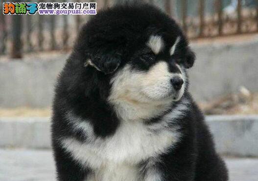 帅气英俊的渝中阿拉斯加犬转让 数量有限 非诚勿扰