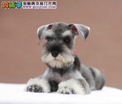 广州世纪犬业出售纯种可爱雪纳瑞幼犬 白黑椒盐色均有