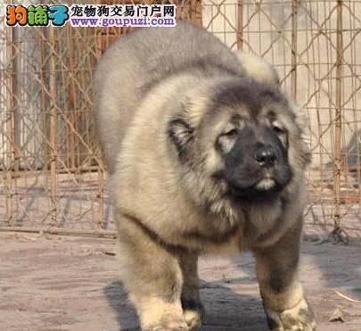 基地繁殖AC国际联保超凶猛高加索幼犬低价出售-点击