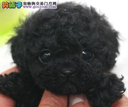 精品韩系血统金山贵宾犬转让 可签质保协议有售后三包
