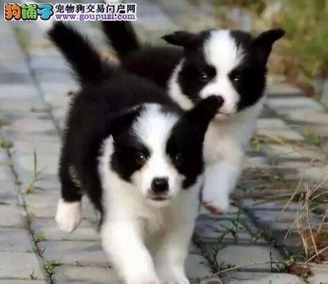 低价转让高品质优秀郑州边境牧羊犬 颜色多样公母都有