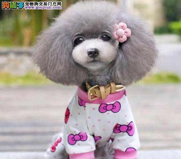 茶杯玩具血系的南昌贵宾犬找爸爸妈妈 放心选购爱犬