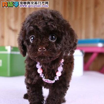 专业繁殖茶杯体石家庄泰迪犬促销包养活保健康