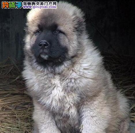 南昌知名犬业出售顶级高加索犬 保纯保健康可刷卡