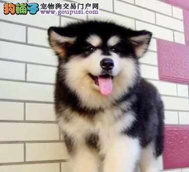 转让完美品相的渝中阿拉斯加犬 包品质包健康包售后