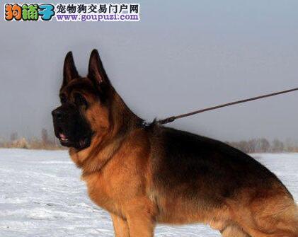 出售身体强壮高大威猛的济南德国牧羊犬 保障品质售后