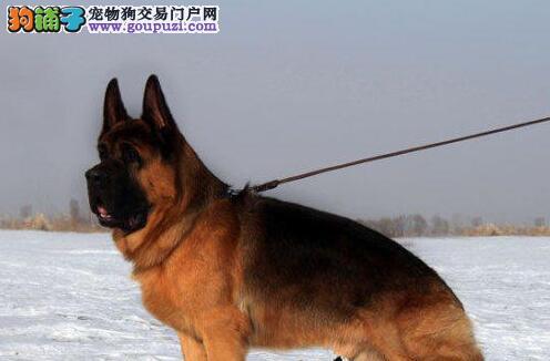 自家狗场热销锤系南昌德国牧羊犬 保证身体绝对健康