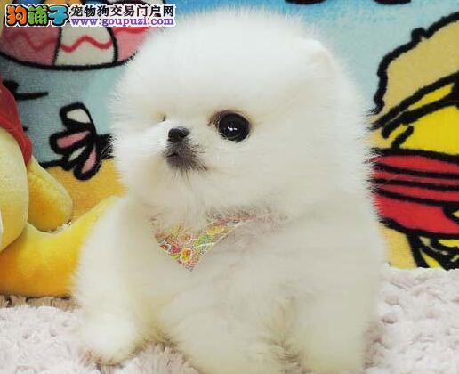 哈多利版球型博美幼犬找新家签质保协议有保障