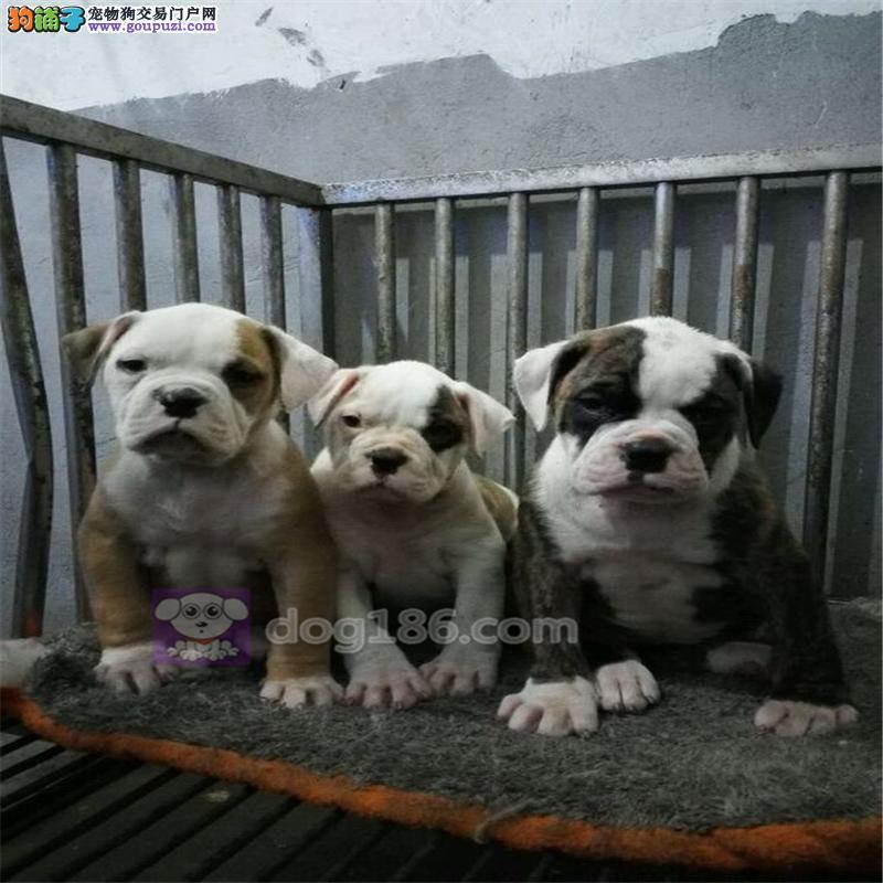 出售美国斗牛犬颜色齐全公母都有可签合同刷卡