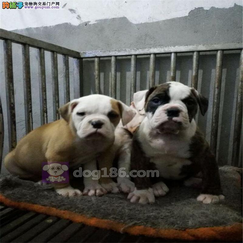 家养多只武汉美国斗牛犬宝宝出售中质保三年支持送货上门
