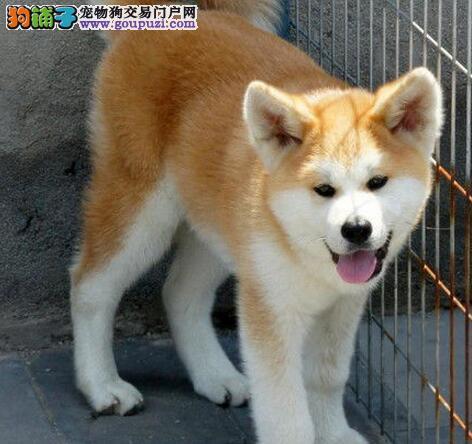极品秋田犬宝宝 西安狗场直销 质量说明一切 喜欢的来