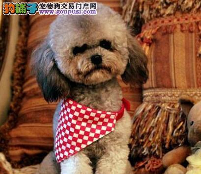 松原精品高品质贵宾犬宝宝热销中购犬可签协议
