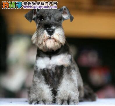 福州顶级犬舍转让纯种白胡子老头雪纳瑞幼犬 公母均有