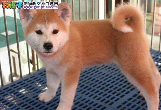 乌鲁木齐知名犬舍出售日系秋田犬 我们承诺售后三包